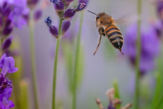 Wildbiene auf dem Weg zum Lavendel © www.mjpics.de