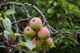 Mehrere Äpfel mit Regentropfen hängen am Baum