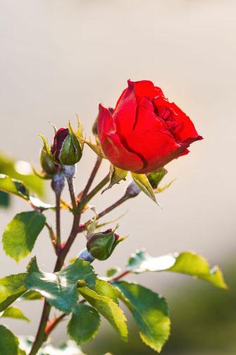 Rote Freilandrose auf hellem Hintergrund hochkant