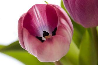 tulpe-rosa