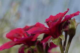 Rote Pelargonienblüte © Jutta M. Jenning-www.mjpics.de