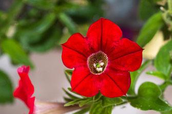 Rote Petunie mit Blütenstempel-Macro