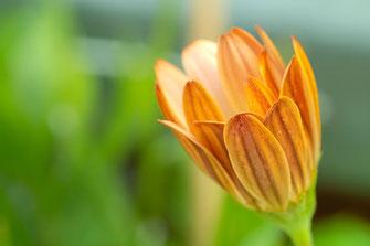 Orangefarbene Knospe des Kapkörbchens ♥ Makro