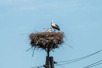 weiss-storchen-nest-stoerche