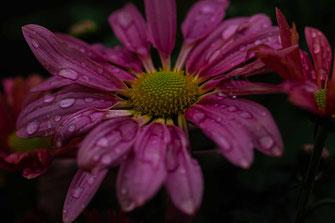 Chrysantheme rosa mit Regentropfen © Jutta M. Jenning ♦ www.mjpics.de