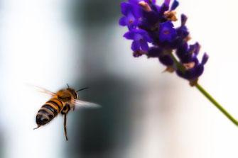 Wildbiene fliegt Lavendel an © www.mjpics.de