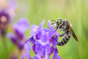 Wildbiene mit grünen Augen an Lavendel © mjpics.de