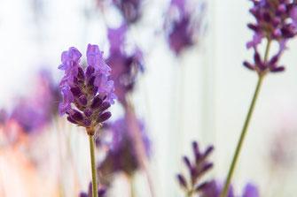 Lavendel künstlerisch-Makrofotografie
