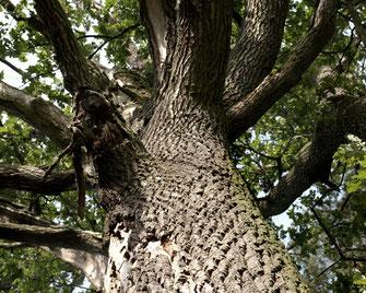 Erfahre wie aus einer Douglasie oder einer Eiche aus dem Schwarzwald eine pur natur Diele wird.