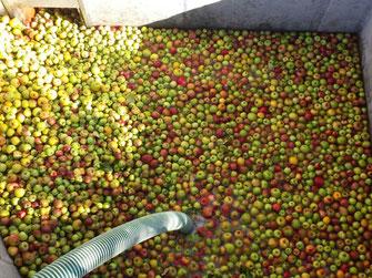 350 kg Äpfel des Werkgymnasiums im Anlieferungsschacht