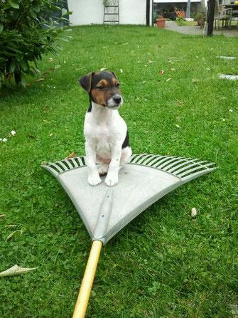Welpen vom Glockenhof Welpen Zucht Zwinger PRT vom Glockenhof jagdlich geführte Parson Russell Terrier