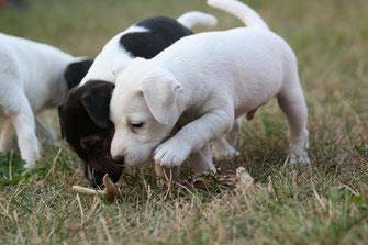 Zucht vom Glockenhof PRT vom Glockenhof Welpen Zucht Zwinger PRT vom Glockenhof jagdlich geführte Parson Russell Terrier Zuchthündin Zuchtrüde