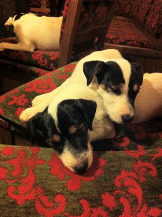 Welpen Zucht Zwinger PRT vom Glockenhof jagdlich geführte Parson Russell Terrier
