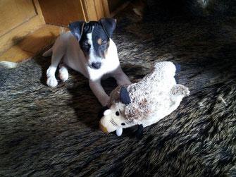 PRT jagdlich geführt Welpen Zucht Zwinger PRT vom Glockenhof jagdlich geführte Parson Russell Terrier