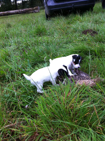 Zwinger vom Glockenhof, jagdlich geführt Welpen Zucht Zwinger PRT vom Glockenhof jagdlich geführte Parson Russell Terrier