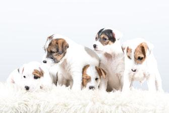 Welpen PRT vom Glockenhof Welpen Zucht Zwinger PRT vom Glockenhof jagdlich geführte Parson Russell Terrier Zuchthündin Zuchtrüde