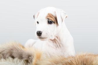 Welpen vom Glockenhof PRT vom Glockenhof Welpen Zucht Zwinger PRT vom Glockenhof jagdlich geführte Parson Russell Terrier Zuchthündin Zuchtrüde