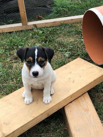 jagdlich geführte Parson Russell Terrier PRT Welpen Zucht PRT vom Glockenhof Welpen Zucht Zwinger PRT vom Glockenhof jagdlich geführte Parson Russell Terrier Zuchthündin Zuchtrüde