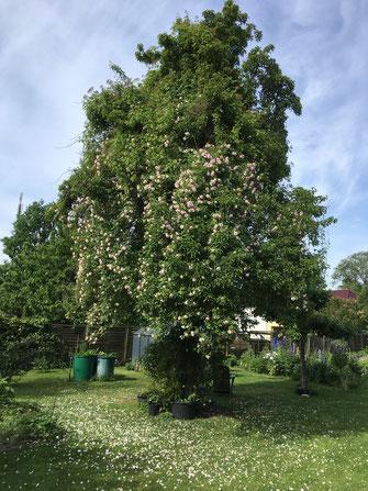 Kletterrose Ayrshire Queen Birnbaum Bauerngarten