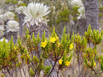 Wenigstens blühen ein paar andere Pflanzen... Páramo de Ocetá, bei Monguí, Kolumbien (Foto Jörg Schwarz)