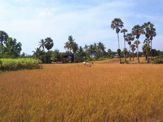 Aus Grün wird Gold-Braun... Region Kep, Kambodscha (Foto Jörg Schwarz)