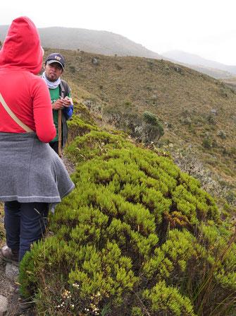Auch bekannte Gewürze sind reichlich im Subpáramo zu finden... Páramo de Ocetá, bei Monguí, Kolumbien (Foto Jörg Schwarz)