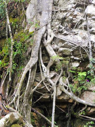 Wunderbares Wurzelwerk am Fall, Gachantivá, Kolumbien (Foto Jörg Schwarz)