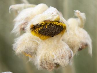 Wollig-pelziger Mantel auf sonnenblumenartiger Blüte gefällig? Páramo de Ocetá, bei Monguí, Kolumbien (Foto Jörg Schwarz)