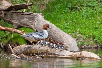 Rauchschwalben (Foto: Ralph Sturm, LBV-Bildarchiv)