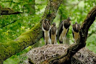 Eisvogel (Foto: Herbert Henderkes, LBV-Bildarchiv)