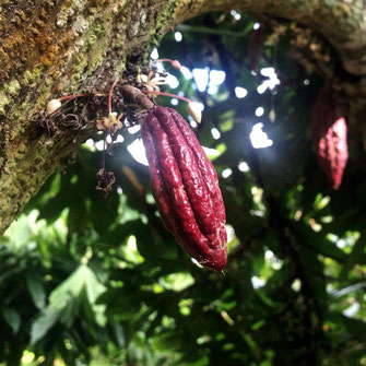 cacao mama cacao tree young cacao pod red