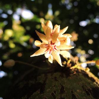 cacao mama cacao tree cacao flower