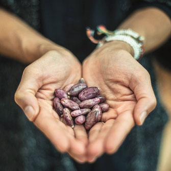 cacao mama fresh cacao beans purple hands offering