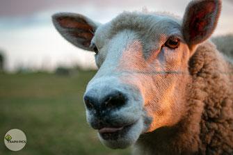 Neuseeland Schafe6