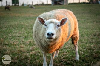 Neuseeland Schafe5