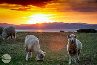 Neuseeland Schafe7