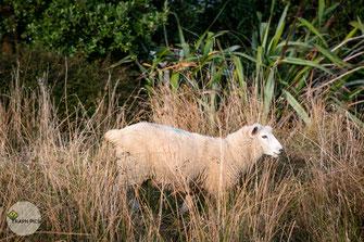 Neuseeland Schafe1