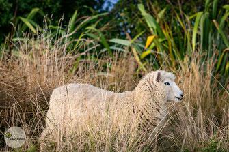 Neuseeland Schafe3