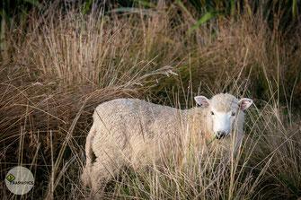 Neuseeland Schafe2