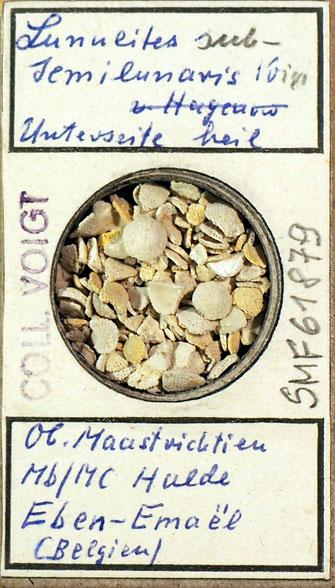 Bild 40 Bryozoa aus Sammlung Senckenberg Frankfurt