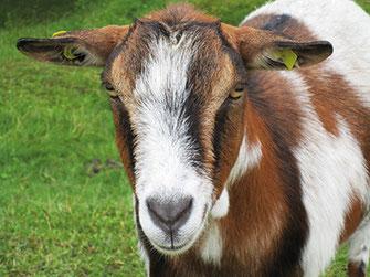 Ziege als Hilfe bei der Tiergestützten Intervention