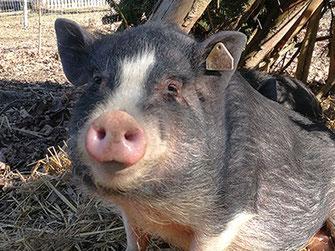 Minischwein - Mitarbeiter Tiergestützte Therapie