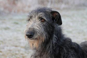 Scottish Deerhounds, Deerhoundzüchterin, Deerhound Welpen/Deutschland