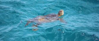 奄美群島 アオウミガメ