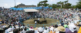 徳之島 闘牛