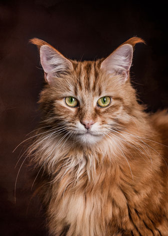 Epische Katzenportraits selbst fotografieren mit Maine Coon Katze Raija von Tobias Gawrisch (Xplor Creativity)
