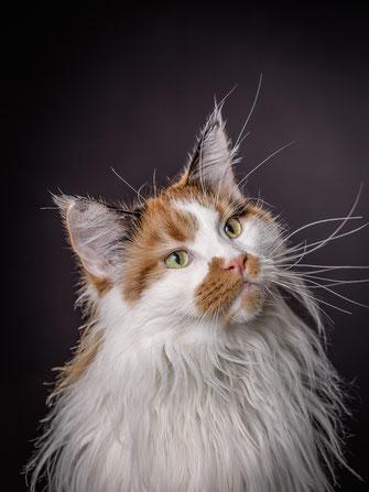 Maine Coon Katze vor dunklem Hintergrund von Tobias Gawrisch (Xplor Creativity)