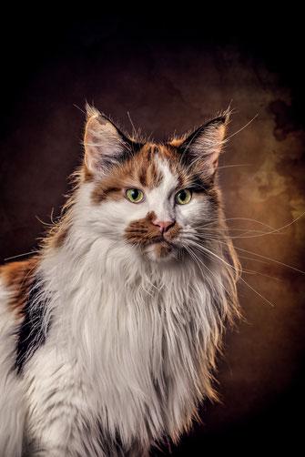 Epische Katzenportraits selbst fotografieren mit Maine Coon Katze Miya von Tobias Gawrisch (Xplor Creativity)