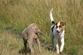 Schön zu sehen, dass bereits Welpen die Hundesprache sehr früh erlernen:Éowyn und Cloé bestreiten beide einen Bogen bei ihrer ersten Begegnung.