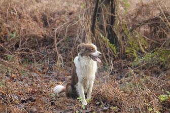 Cooper zieht alle Register - nach seinem Jagdausflug beschwichtigt er mit hinsetzen (unaufgefordert), Blick verkürzen und Kopf abwenden